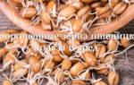 Чем полезны и как правильно принимать пророщенные зерна пшеницы?