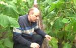 Как вырастить огурцы кураж советы агрономов