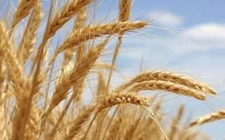 Как удобрять зерновые культуры нормы внесения