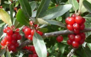 В чем польза и вред лекарственного растения шефердия