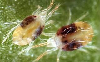 Виды паутинных клещей с описанием и фото
