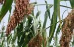 Советы по посеву и уходу за просом