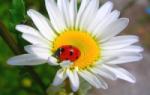 Выращивание уход и размножение клематиса на даче