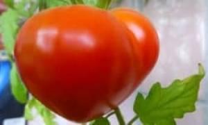 Томаты вельможа характеристика описание урожайность
