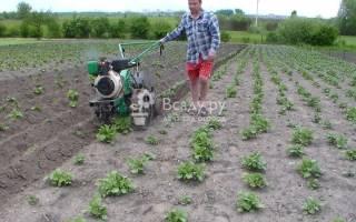 Правильное окучивание картофеля мотоблоком
