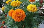 Правила и особенности выращивания бархатцев из семян
