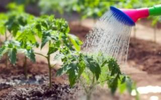 Как часто поливать помидоры в теплице для хорошего урожая