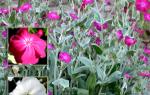 Секреты успешного выращивания лихниса из семян