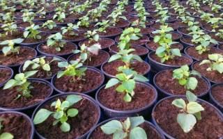 Как правильно выращивать бальзамины в саду