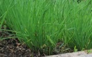 Выращиваем лук на перо лучшие советы по уходу и посадке