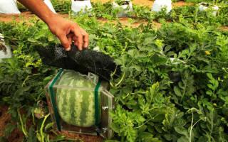 Можно ли и как вырастить квадратный арбуз?