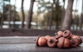Как использовать дубовые жёлуди для приготовления кофе