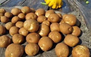 Описание характеристики и особенности посадки картофеля сорта киви