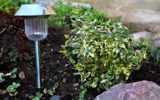 Бересклет форчуна выращивание и уход применение в ландшафтном дизайне