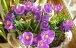 Выращиваем крокусы посадка и уход в домашних условиях