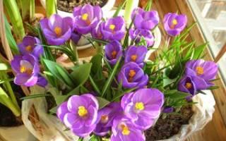 Секреты посадки и выращивания крокусов в домашних условиях