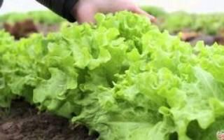 Агротехника и особенности выращивания салата латука на дачном участке