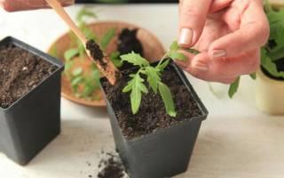 Пикировка томатов когда и как правильно пикировать помидоры после всходов?