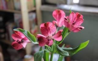 Альстромерия лучшие советы по выращиванию в домашних условиях
