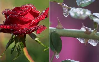 Как сохранить посадочный материал роз черенки до посадки