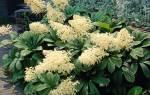 Выращивание роджерсии посадка использование в садовых композициях и особенности ухода