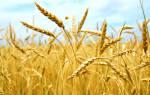 Основные виды зерновых культур