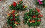 Особенности посадки и ухода за горьким перцем в вашем огороде