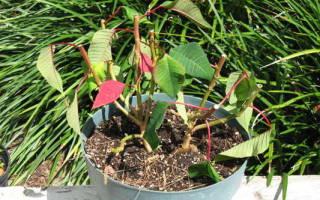 Пуансеттия выращивание и уход в домашних условиях