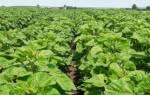 Выращивание рапса в украине сейчас очень прибыльное