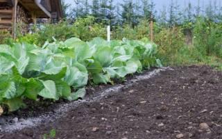Чем подкормить капусту народные средства