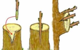 Прививка плодовых деревьев весной общие правила и способы