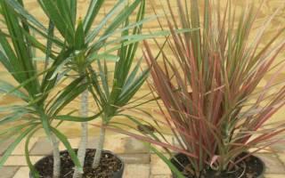 Как вырастить комнатную драцену особенности ухода за экзотическим растением