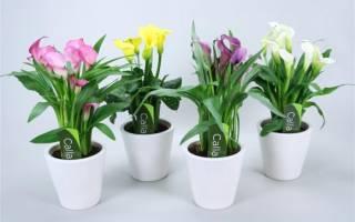 Комнатное растение ксантосома уход в домашних условиях