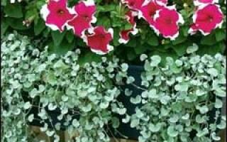 Дихондра серебристая секреты успешного выращивания