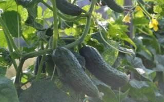 Как посадить и вырастить огурцы паратунка