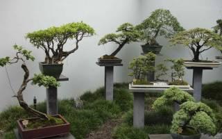Дерево бонсай изучаем стили по фото