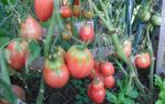 Новый сорт отечественной селекции помидоры петруша огородник