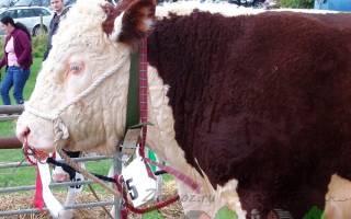 Самые известные виды бычков мясной породы на откорм