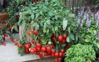 Посадка и уход за помидорами черри в теплице