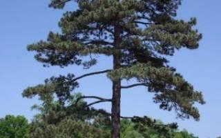 Основные виды и сорта дерева сосна