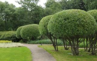 Выращивание шаровидной ивы на дачном участке