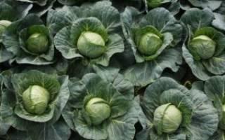 Лучшие сорта ранней капусты для выращивания