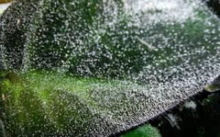 Как избавиться от мучнистой росы на листьях фиалки