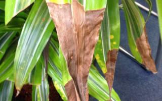 Драцена причины пожелтения и опадания листьев