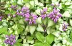 Яснотка описание растения и особенности выращивания