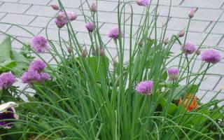 Как посадить и вырастить лук сеттон