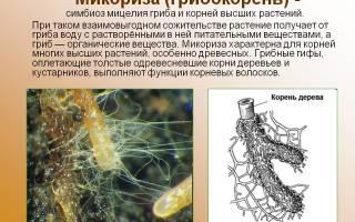 Что представляет и роль микоризы грибокорень в питании растений