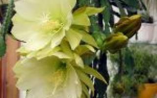 Как правильно ухаживать за растением эпифиллум