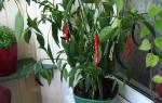 Как посадить и вырастить перец чили