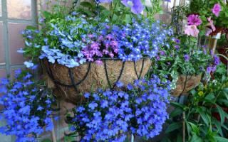 Как вырастить лобелию в вашем саду